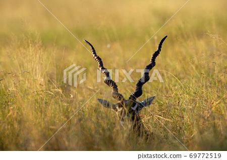 long horns of blackbuck or Antilope cervicapra in open grassland of tal chhapar sanctuary rajasthan india 69772519