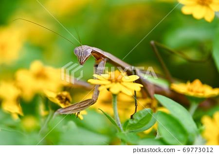 鮮花和螳螂 69773012