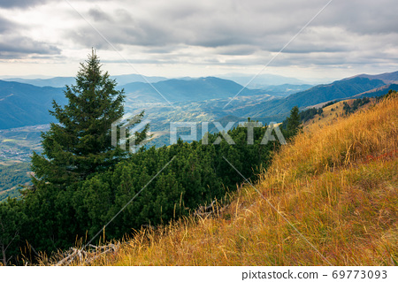 spruce forest on the hillside meadow. beautiful mountain landscape in autumn season. high ridge in the distance. rainy weather with cloudy sky 69773093