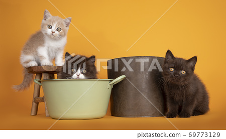Row of British Longhair and Shorthair kittens on yellow background 69773129