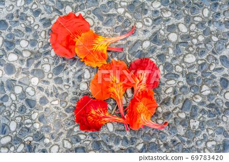 掉落在地上的鳳凰花花瓣 69783420