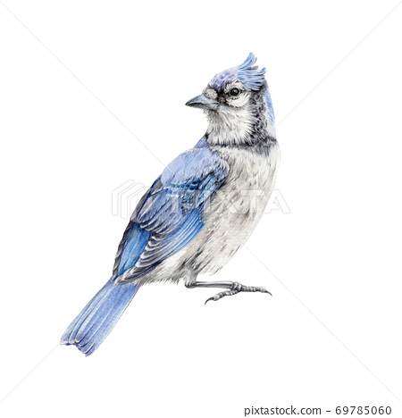 Blue jay bird watercolor illustration.  69785060