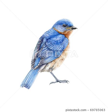 Western blue bird watercolor illustration.  69785063