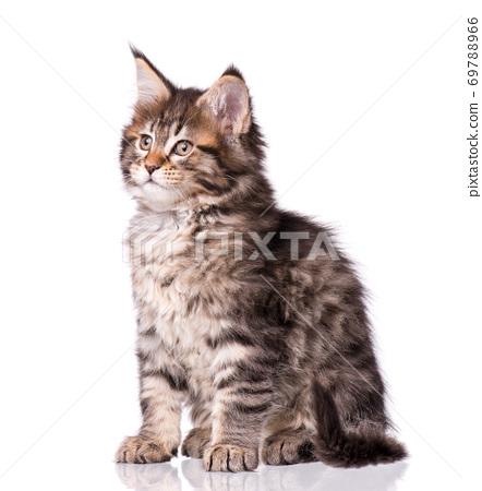 Maine Coon kitten on white 69788966