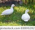 两只鸭子在福知山市动物园散步 69800282