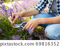 woman with picking lavender flowers in garden 69816352