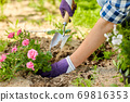 woman planting rose flowers at summer garden 69816353