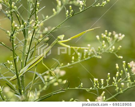 在草叢中選擇了Kamakiri 69818908