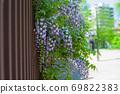 开花在公园的藤条花 69822383