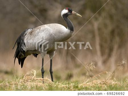 Common crane (Grus grus) 69826692