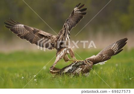 Common buzzard (Buteo buteo) 69827573