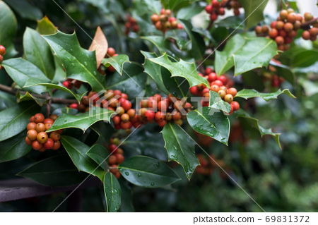Closeup of holly tree with red berries in a public garden - Ilex aquifolium 69831372