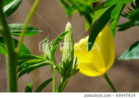 르 피나 스의 꽃 봉오리 69847614