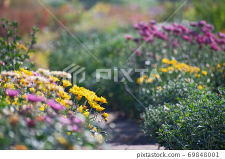 Natural vew of multicolored aster flower  bushes in the autumn park 69848001