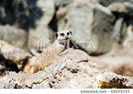 바위에서 멀리 보는 미어캣 에딘버러 동물원에서 69850293