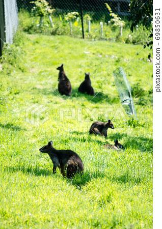 小袋鼠在愛丁堡動物園的草坪上 69850631