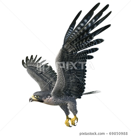 Peregrine Falcon 3d illustration isolated on white background 69850988