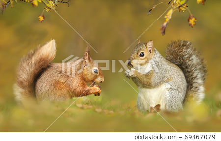 Close up of grey and red squirrels in autumn 69867079