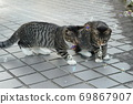 Kijitora kitten brothers of stray cats who flutter at the first soap bubbles 69867907