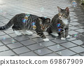 Kijitora kitten brothers of stray cats who flutter at the first soap bubbles 69867909