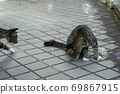 Kijitora kitten brothers of stray cats who flutter at the first soap bubbles 69867915