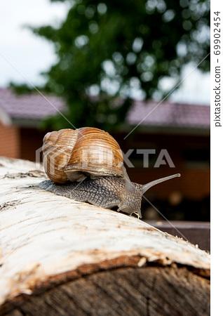 Burgundy snail (Helix, Roman snail, edible snail, escargot) crawling on the trunk of old birch tree. . 69902454