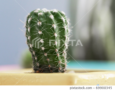 Small fresh and green succulent plant cactus on white wooden table, select focus shallow depth of field 69908345