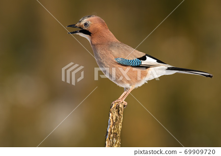 Angry eurasian jay singing on branch in autumn. 69909720