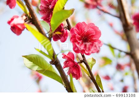 大自然美麗的粉色梅花盛開 69913108
