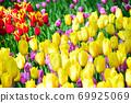 Yellow tulip field 69925069
