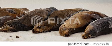 Galapagos Sea Lion Pod of 6 Resting 69925510