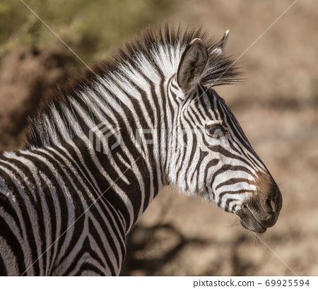 Close-up profile of a zebra 69925594