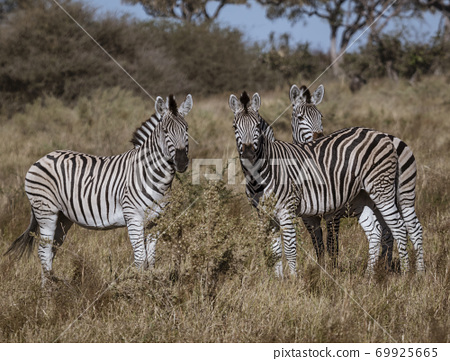 A small dazzle of zebras look at the photographer 69925665
