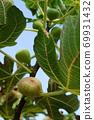成熟無果的水果 69931432
