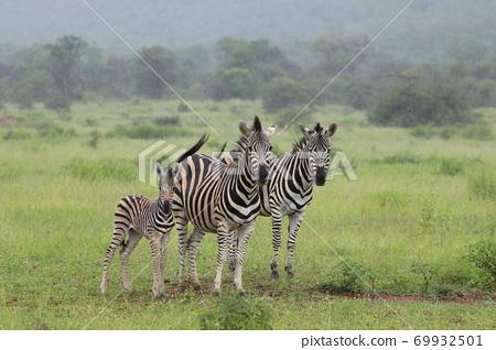 Wild zebra family 69932501