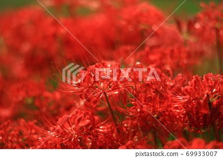 붉은 만체 沙華 69933007
