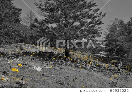 七쯔石 산에 군생하는 마루바다케부키 꽃 69933026