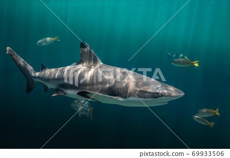 Blacktip reefs shark swimming. 69933506