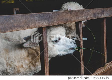 White Alpaca in farm's stables. 69933519
