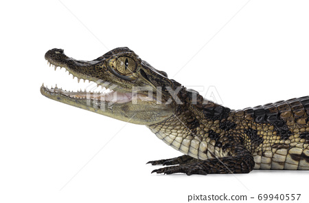 Spectacled Caiman on white background 69940557