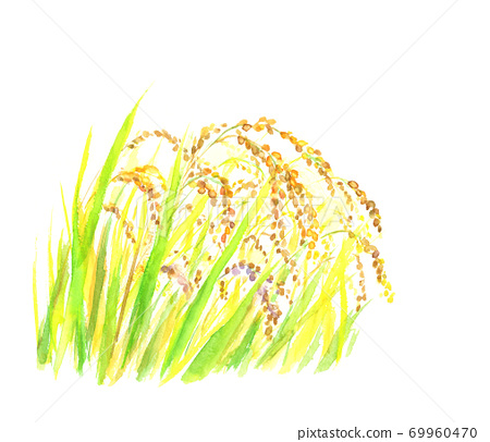 Illustration of golden rice ears drawn in watercolor 69960470
