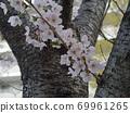 뿌리에 가까운 줄기에서 뻗어 왕 벚나무 벚꽃의 카즈에 69961265