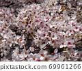 벚꽃 낭만의 봄 69961266