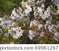 봄에 찾은 교토 식물원에 피는 새잎이 芽吹く 벚꽃 69961267