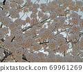 벚꽃 낭만 봄에 찾은 교토 식물원의 벚꽃 69961269