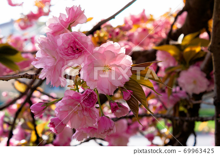 pink cherry blossom on a sunny day. nature beauty in springtime 69963425