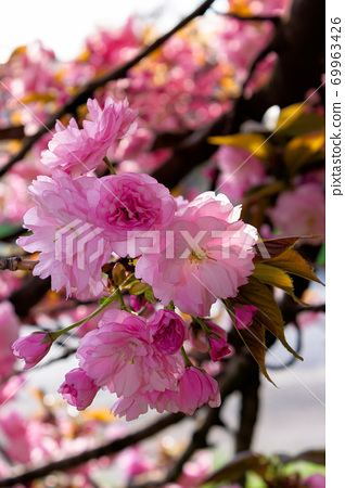 pink cherry blossom on a sunny day. nature beauty in springtime 69963426