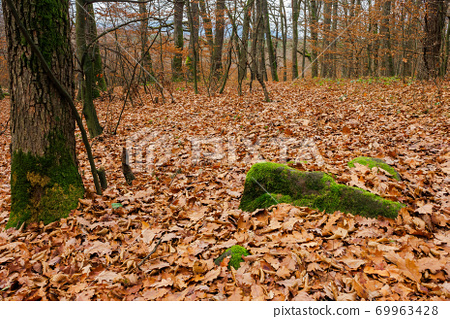 forest and fallen foliage in november. dry leaves on the ground. leafless branches and trunks with moss. calm nature scenery. 69963428