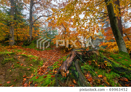 beech trees in colorful foliage. misty forest scenery. colorful foliage. nature background 69963452