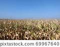 Corn field with blue sky. Yellow old corn plants and blue clean sky 69967640